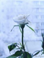 Frozen Rose by ThePapels