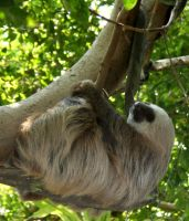 Hogle Zoo 87 - Sloth by Falln-Stock