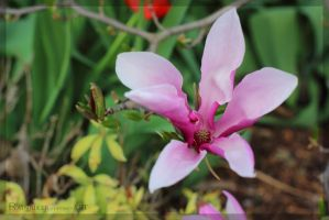 Magnolie by Rainbiker