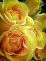 Rose Yellow Tejas by Anileya