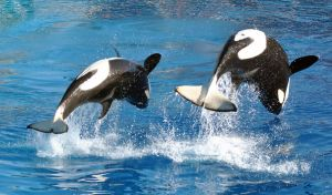 Killer whales by fosspathei