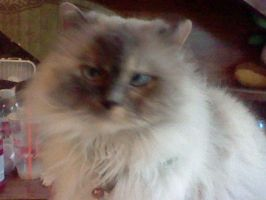 himalayan upclose by mistresscarrie