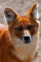 Dhole 6 by Exthree-photo