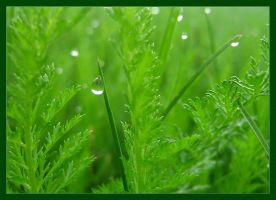 Morning dew by blessedchild