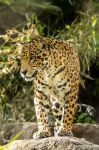 Jaguar 3 by RoyalImageryJax
