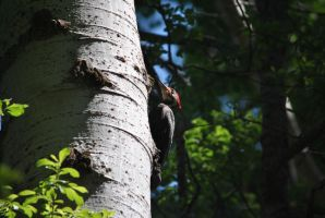 Precautionary Pileated Woodpecker I. by swampliquor