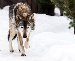 Gray Wolf III by OrangeRoom