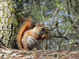 Red squirrel by ravenfire12