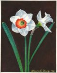 White Daffodils by LG-Young