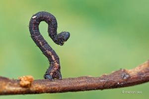 Twig Mimic Caterpillar by melvynyeo