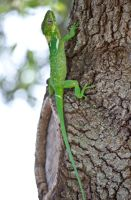 Knight Anole by SamRickim
