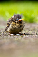 Baby Bird 2 by liam-jones