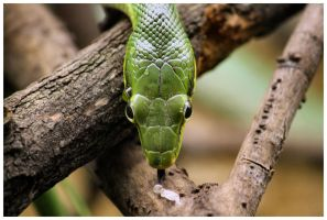 Red-tailed green ratsnake by DysfunctionalKid