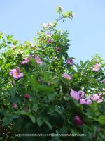 Wild Rose Bushes 62411 by WeisseEdelweiss