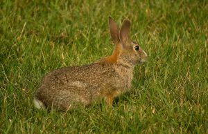 Unusual Eastern Cottontail 1 by toshema