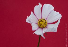 White and pink Cosmos on Red by reenaj
