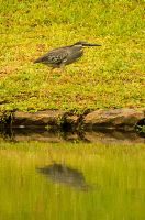 Little Heron goes for a walk by avarenity