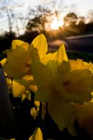 Daffodils Sunset by EternallyEnvious