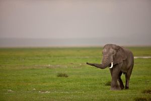 African Elephant 9 by catman-suha