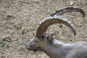 ibex II by mimose-stock