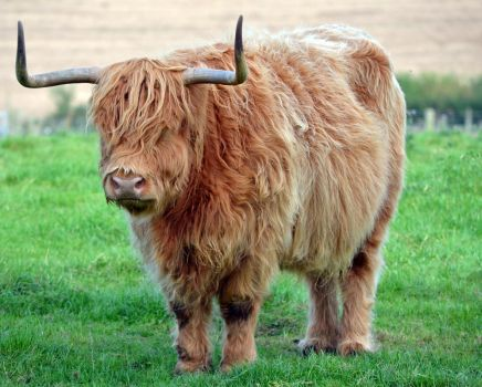 Highland Cow by priwax