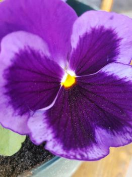 purple pansy by MyLoveForYouEternity