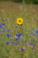 Sunflower on the Meadow by archaeopteryx-stocks