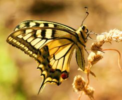 yet another swallowtail by phajj
