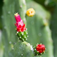 Prickly Pears by Badoo11