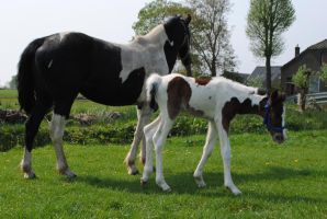 Fay with Toby - Newborn Colt - 3 days old by Horselover60-Stock