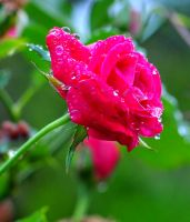 rose after the rain by Litratobyberneserose
