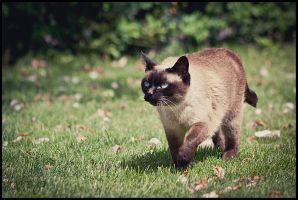 Cat Walking by nfp