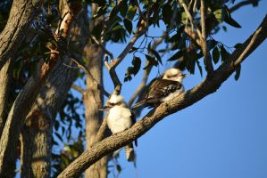 Kookaburras in our backyard by rbompro1