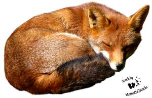 Cut-out stock PNG 09 - sweet red fox Lola by Momotte2stocks