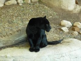 Melanistic Jaguar by astromechanic86