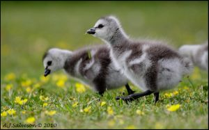 Goslings by andy-j-s