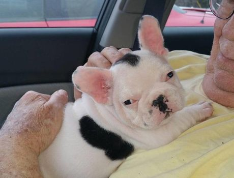 Axl our French Bulldog Pup by Simplytina