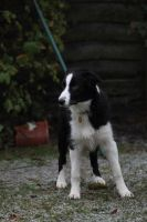 Collie Dogs 19 by Tasastock