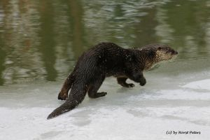 European Otter 2 / Fischotter 2 by bluesgrass