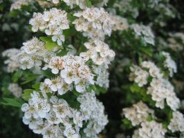 White Flowers by TheREALemoCloud