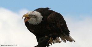 Bald eagle 2 by Kristinaphoto