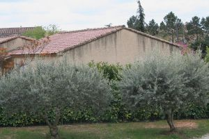 olive trees provence 2 by ingeline-art