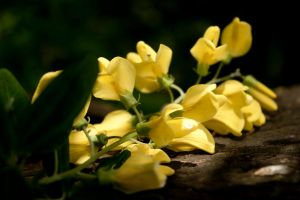 Yellow Flowers Laying On A Tree Stump by designerfied