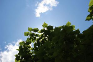 Sun above the Catalpa by Toderico