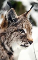 MZ European Lynx Close-up Portrait by OrangeRoom