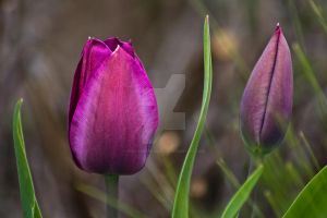 Two Purple Tulip Flowers by photographybypixie