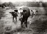 Nikkormat - Cows - Series 1 by ti-jean