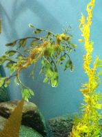 Leafy sea dragon by Wintaria