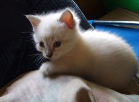 white kitten 2 by BreatheOnMe