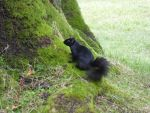 black squirrel by PuyoSama